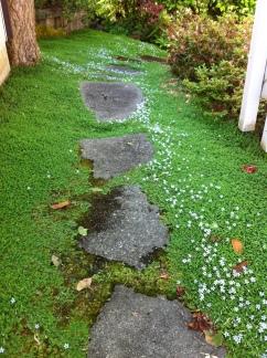 blue star creeper pathway