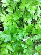 fall parsley