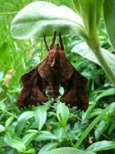 Koiz moth