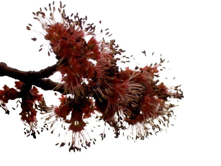 maple bloom
