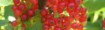 cropped-cropped-currants.jpg