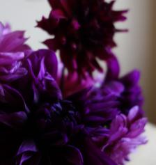 dahlias-purples